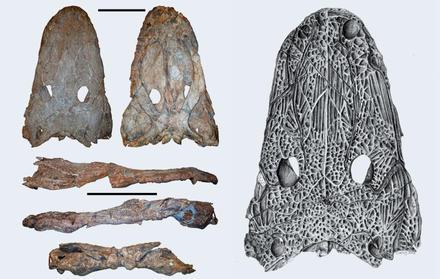 Paleontólogos da NOVA anunciam nova espécie de anfíbio gigante