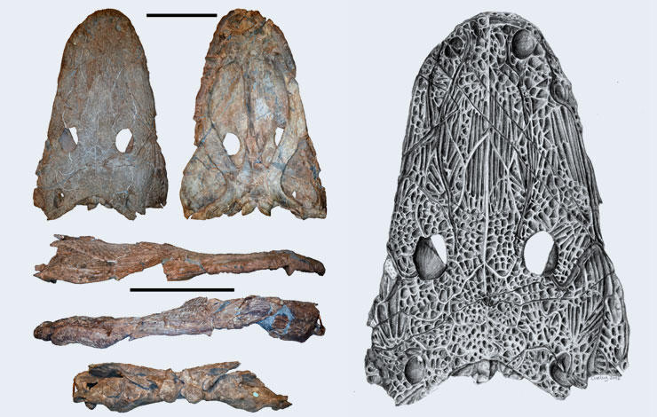 NOVA paleontologists announce new species of giant amphibian
